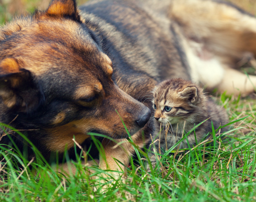 Big dog take care of little kitten on the grass