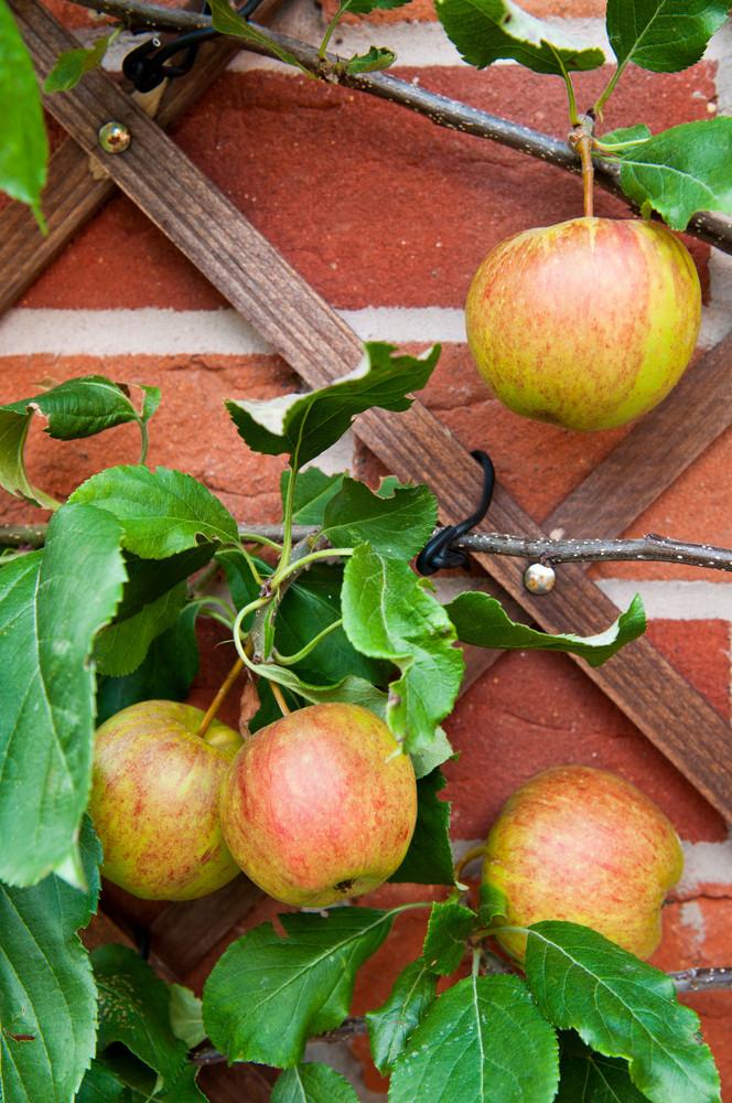 Biological Apples