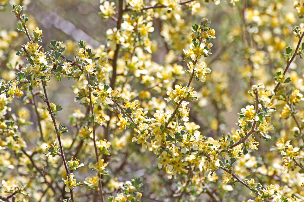 Bitterbrush Plants 143