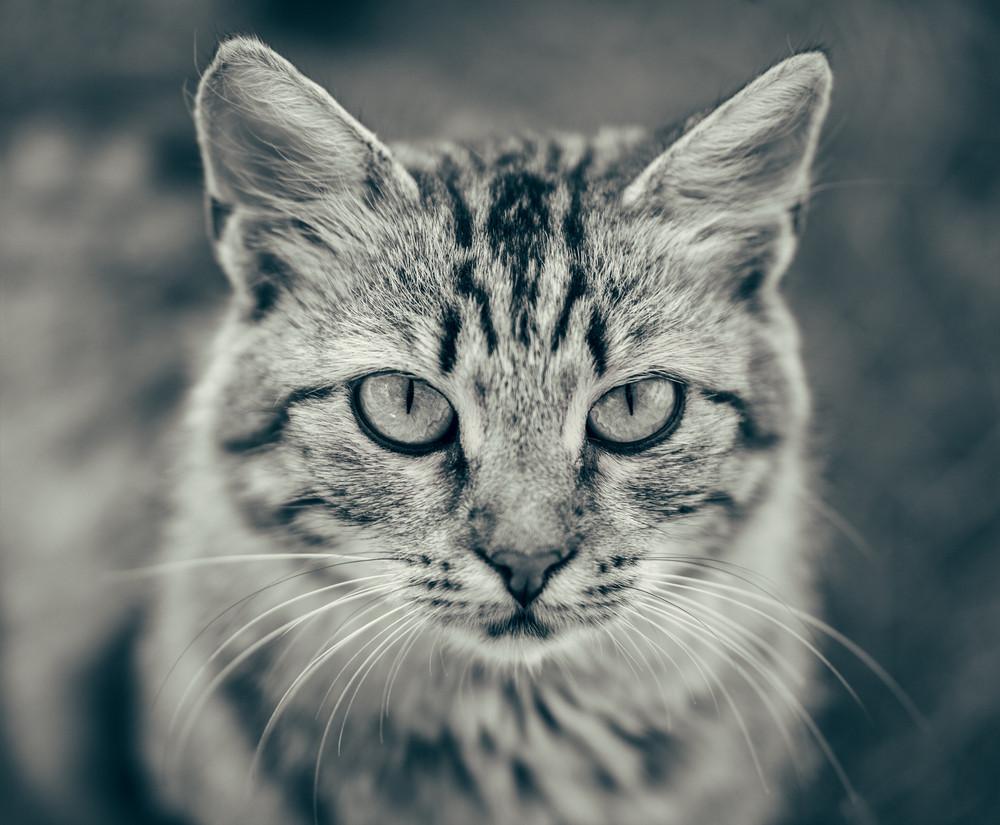 Black and white portrait of Ñute cat