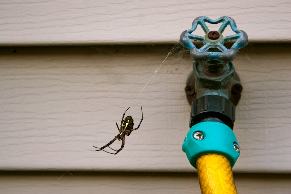 Black and yellow orb weaver spider hanging out in its web by a water spicket.