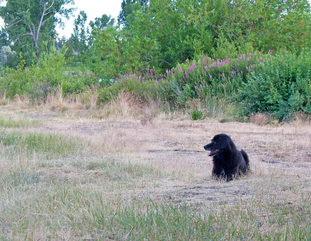 Black Dog In Field