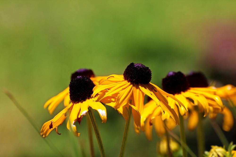 Black Eyed Susan Flowers Background
