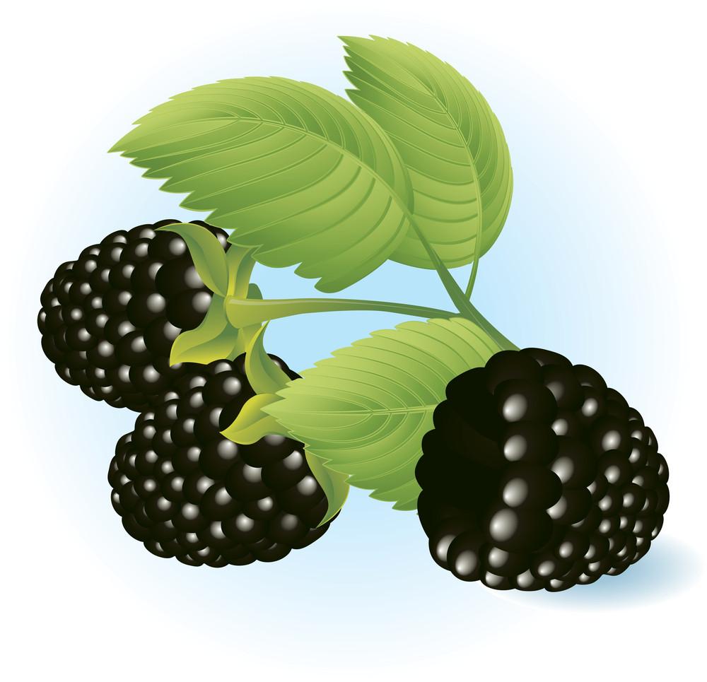 Blackberry. Vector.