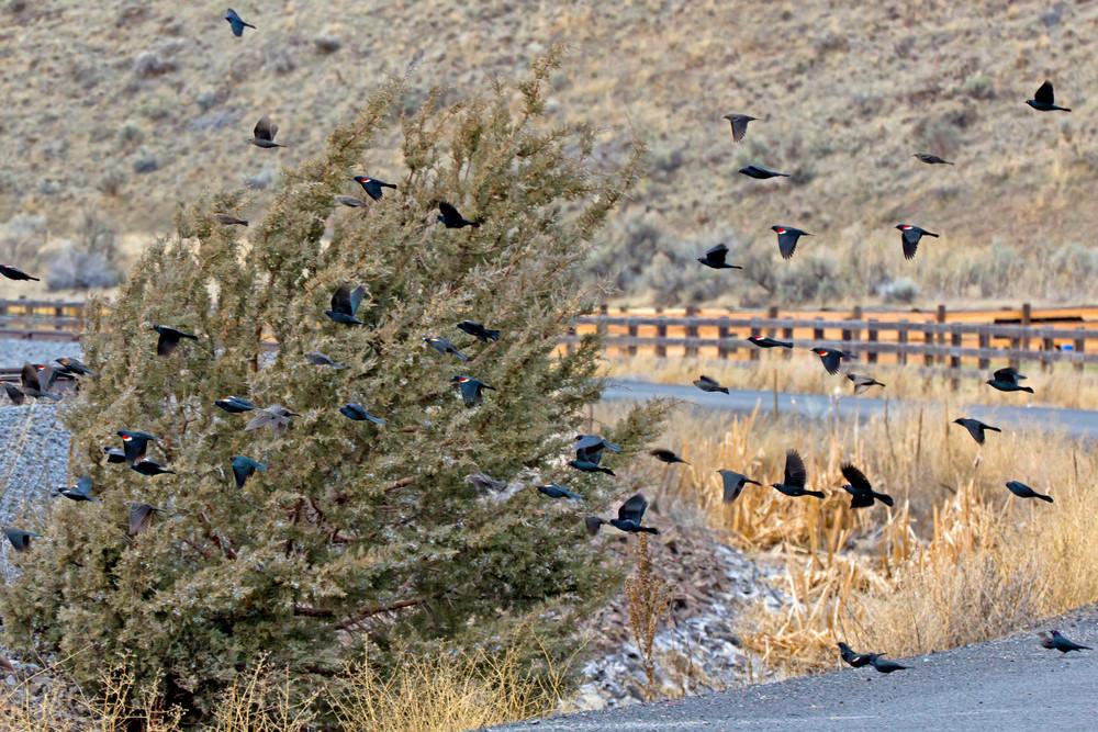Blackbirds Flying