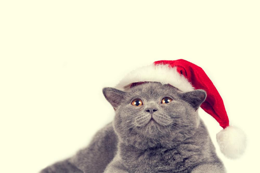 Blue british kitten wearing Santa hat isolated on white background