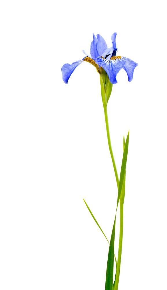 Blue Iris Isolated On White