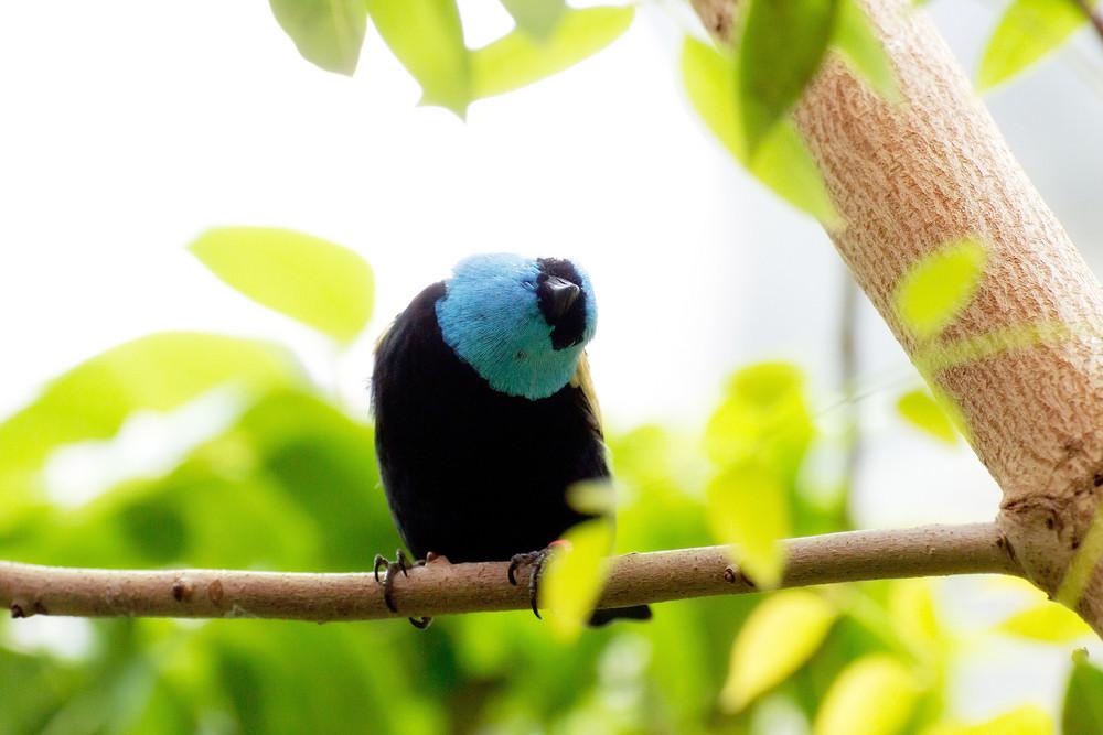 Blue Necked Tanager Bird