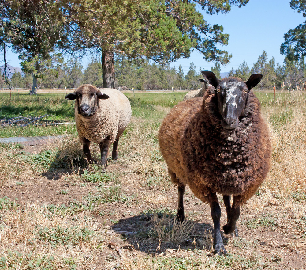 Border Leicester And Colored Romeldale Sheep