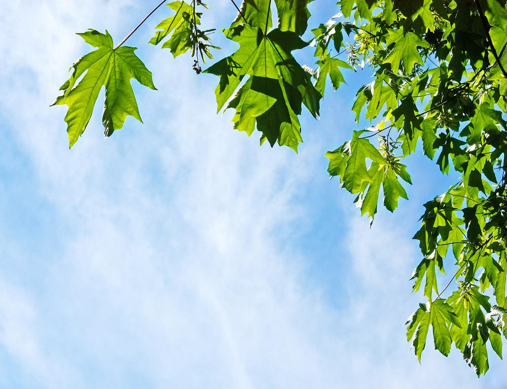 Broad Leaf Maple Sky