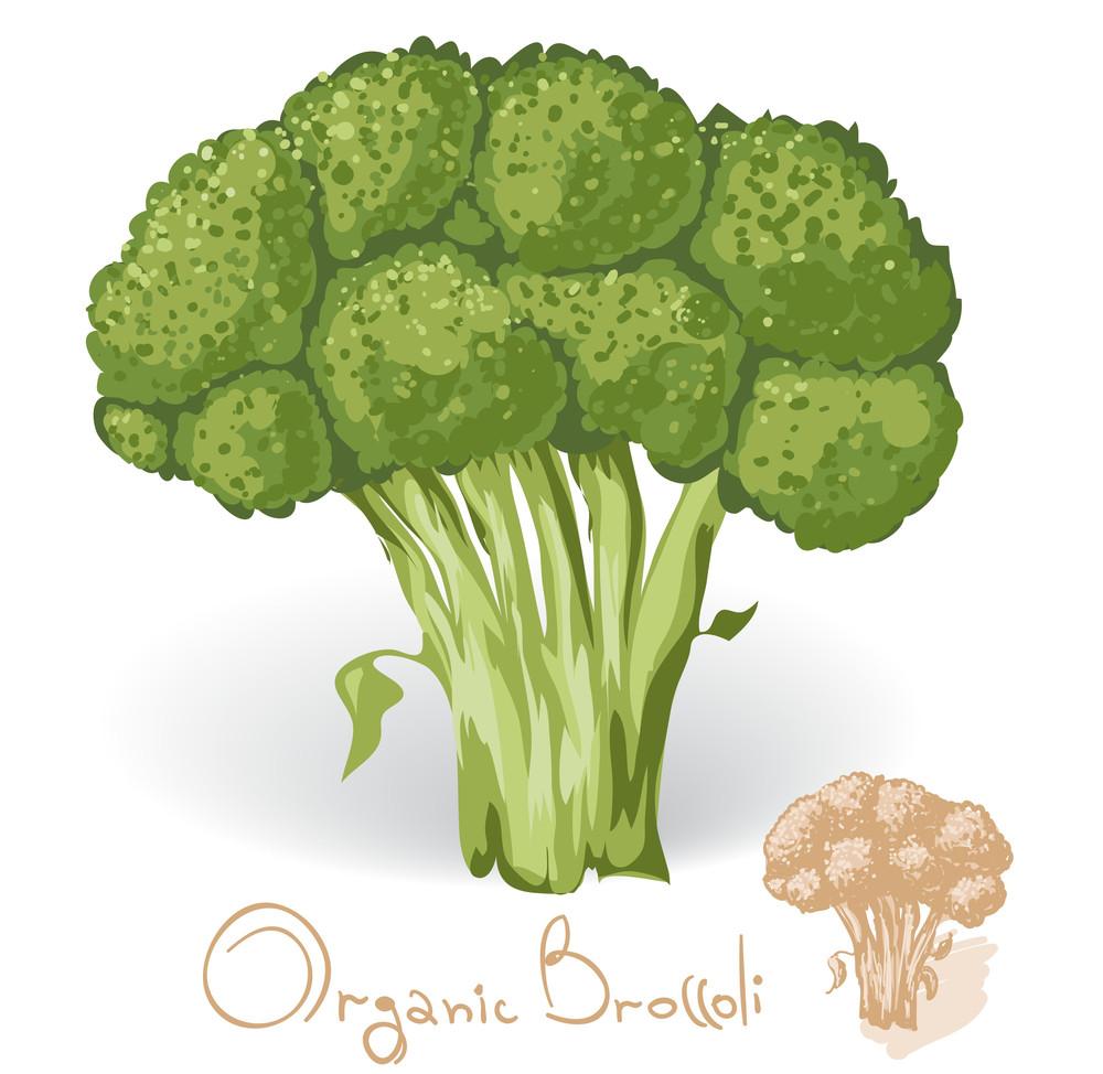 Broccoli. Vector.