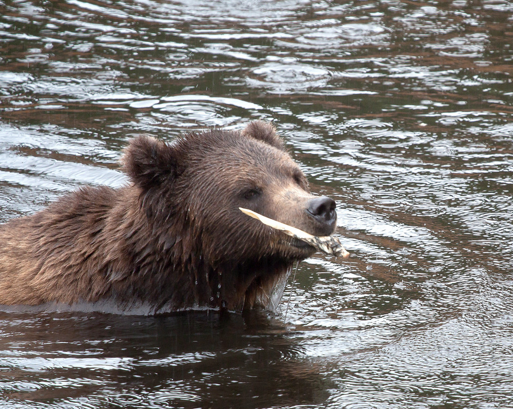 Brown Bear With Stick