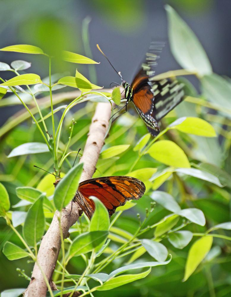 Butterflies On Branch