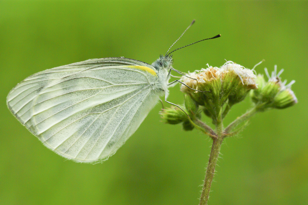butterfly on a wild flowers (Polyommatus icarus)