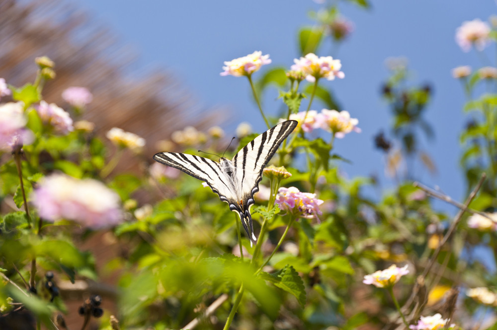 Butterfly On Samos
