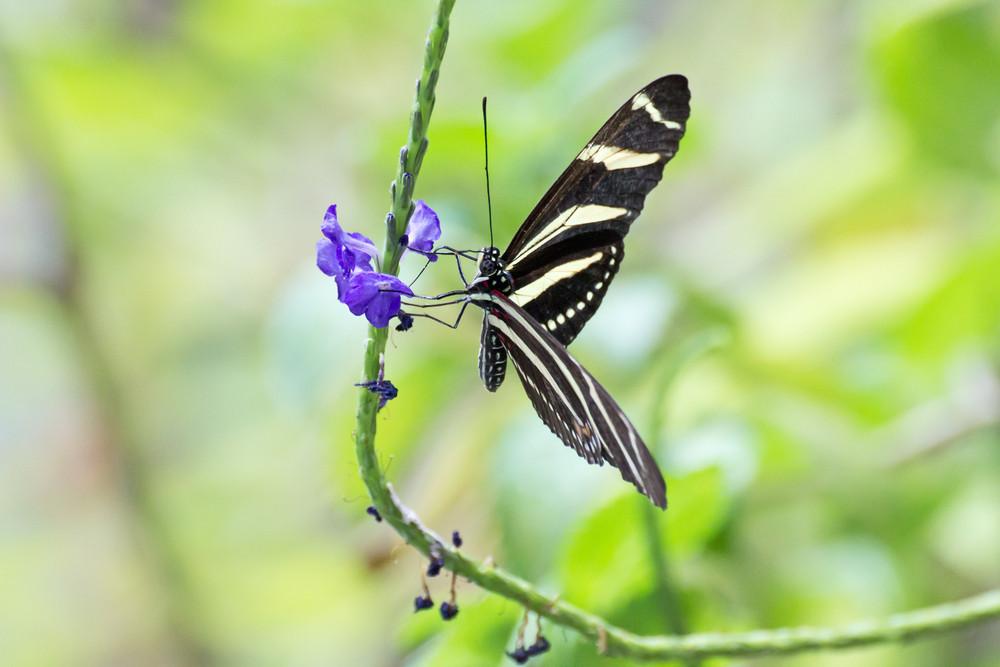 Butterfly Zebra Longwing Butterfly