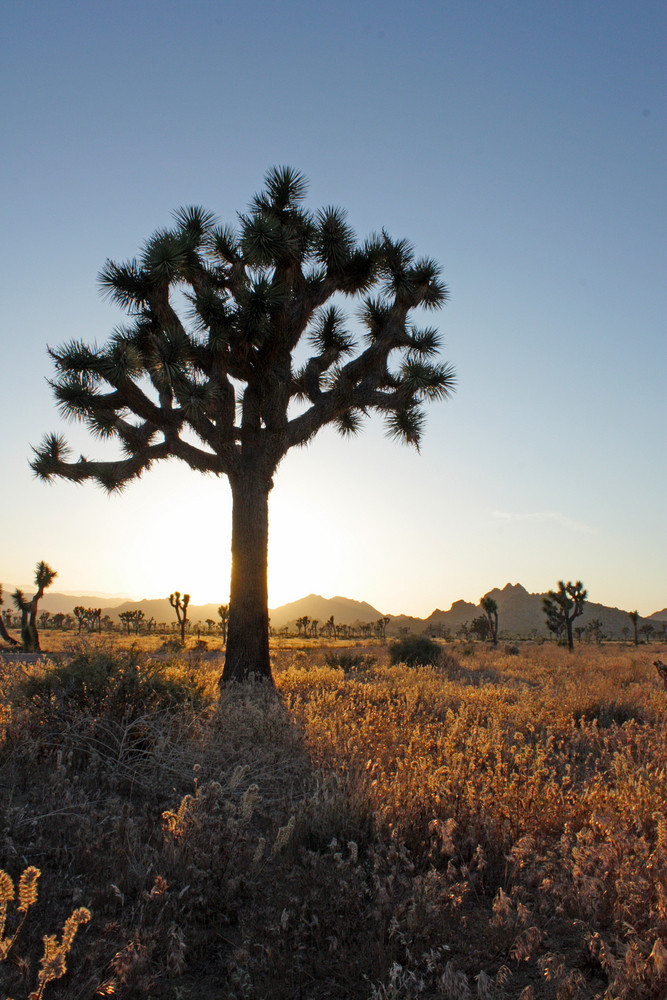 California Joshua Trees At Sunset