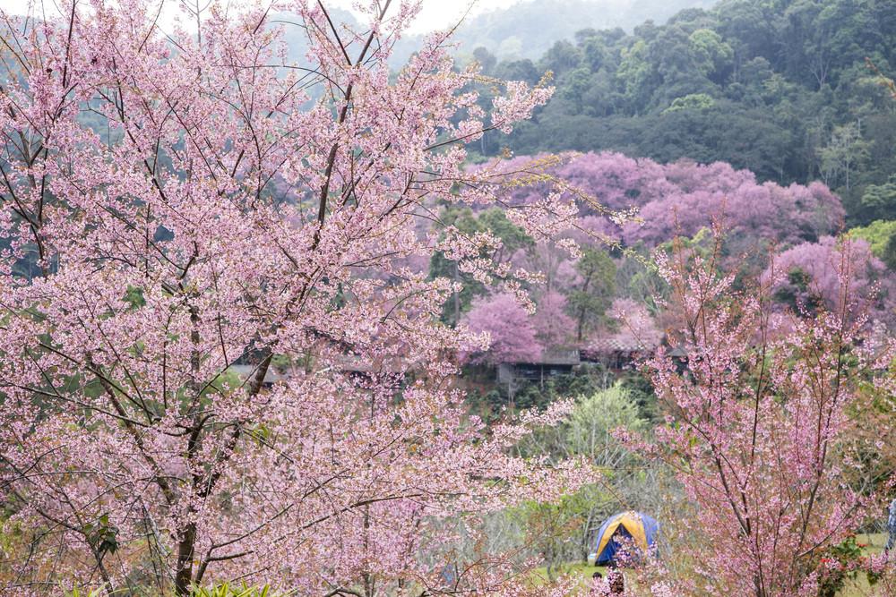 Camping tent with Sakura pink blossom.