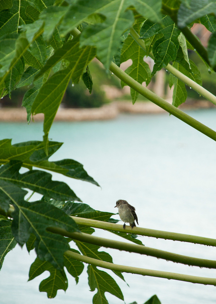 Caribbean Elaenia