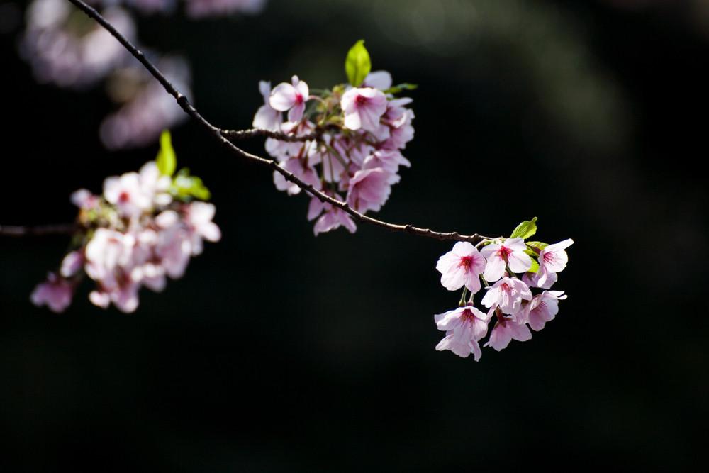 Cherry Blossom Sakura flower isolated in black background