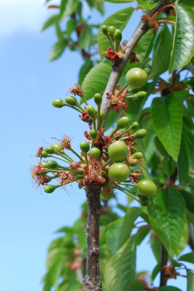 Cherry Tree/flower