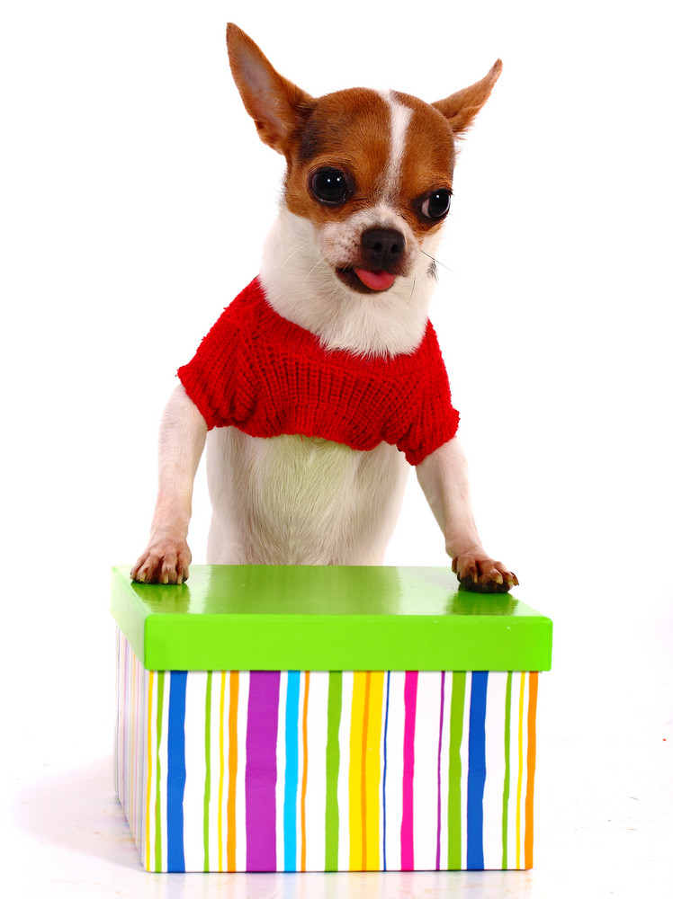 Chihuahua Getting A Gift For Christmas
