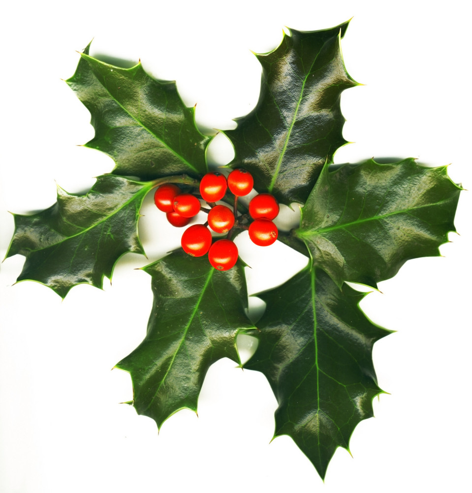 Isolated Holly With Berries On The