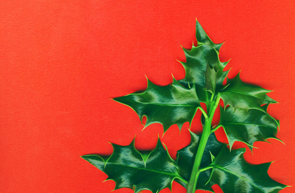 Christmas Holly  Isolated On Red