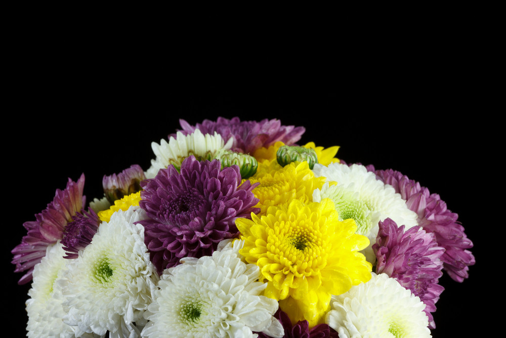 Chrysanthemum Daisies