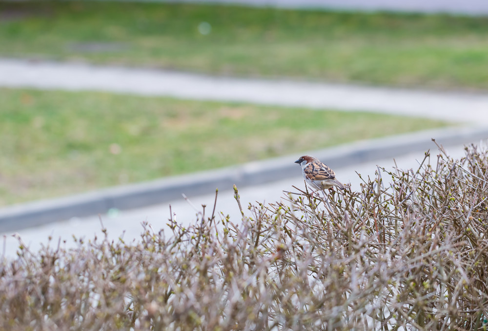 City sparrow sitting on hedge. Photo of single bird.