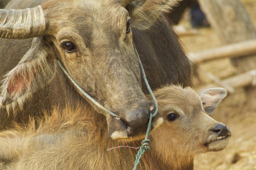 close-up buffalo with son