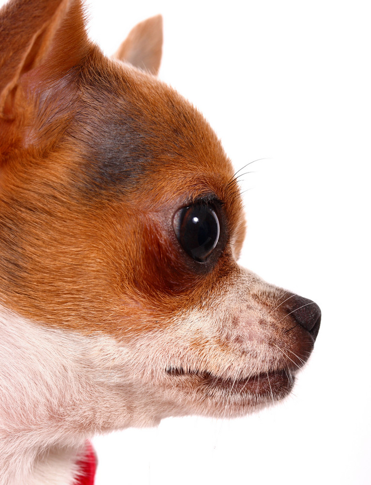 Close Up Of A Pet Chihuahua's Face
