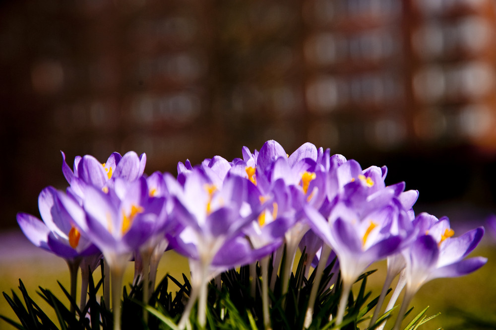 Close Up Of Crocus Flowers In Spring