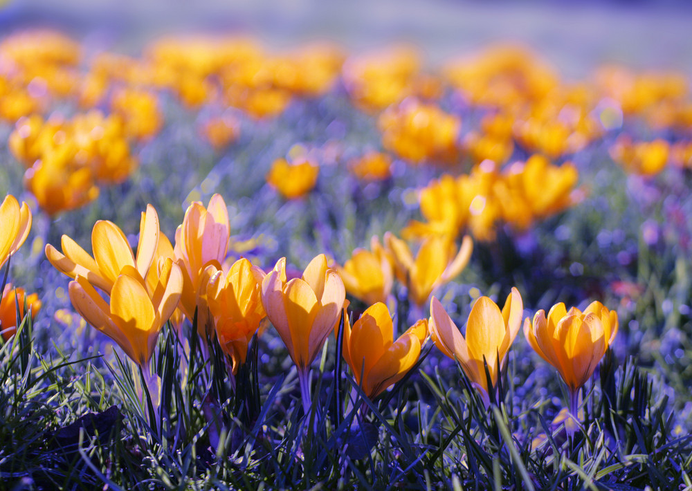 Close Up Of Yellow Crocuses