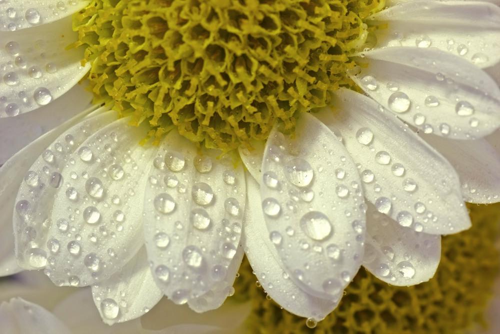 Close Up White Flower Background