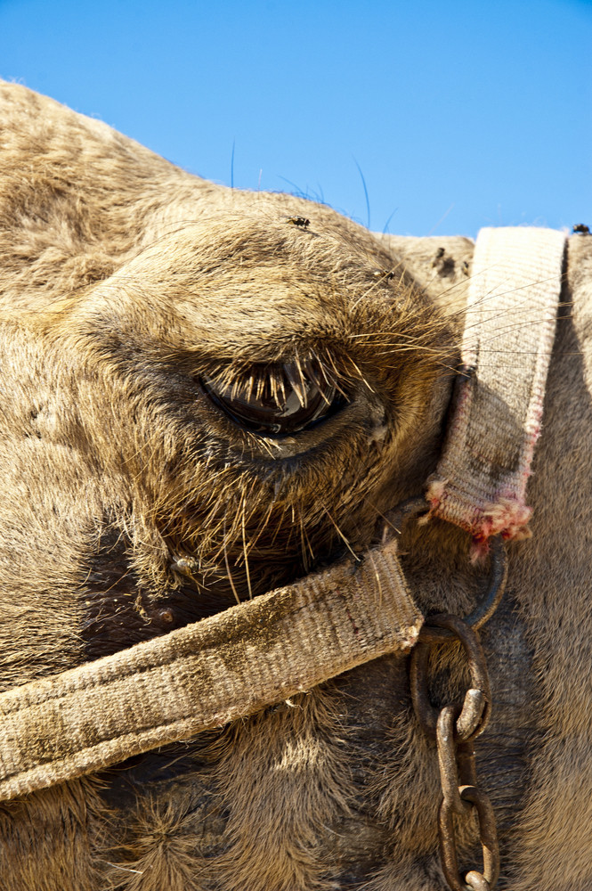 Close View Of Camel's Eye
