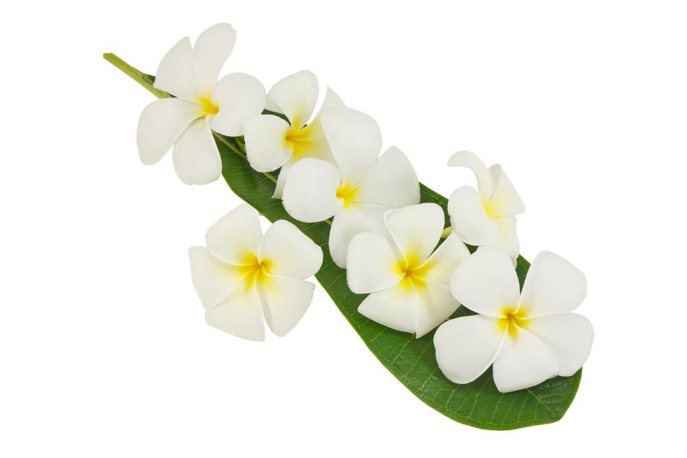 Closeup Frangipani Flower