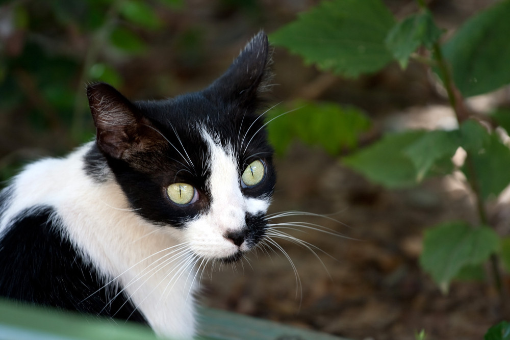 Closeup of a black and white cat with striking green eyes.