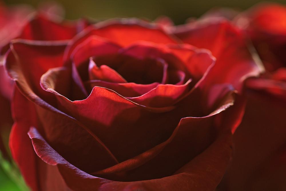 Closeup Red Rose