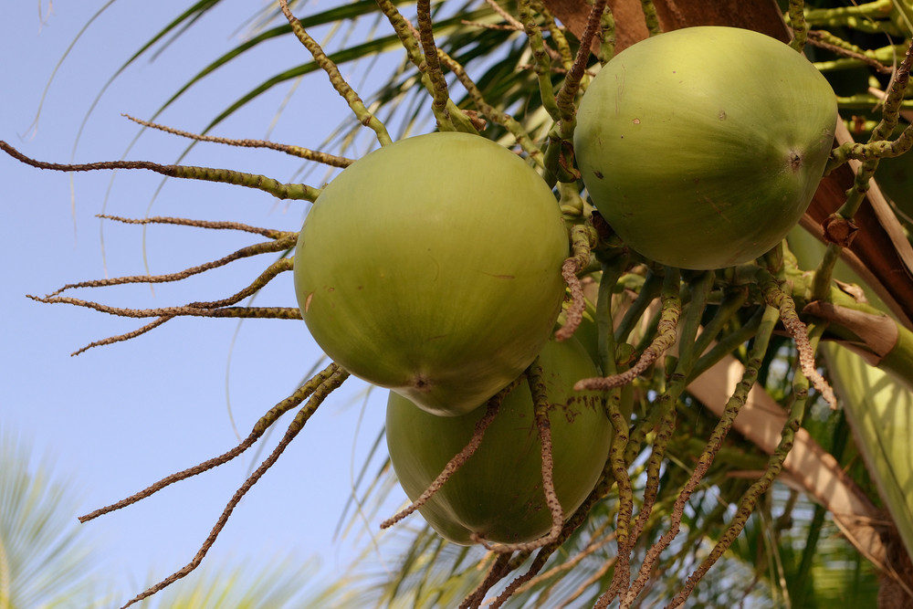 Coconut-fruits-with-bluesky