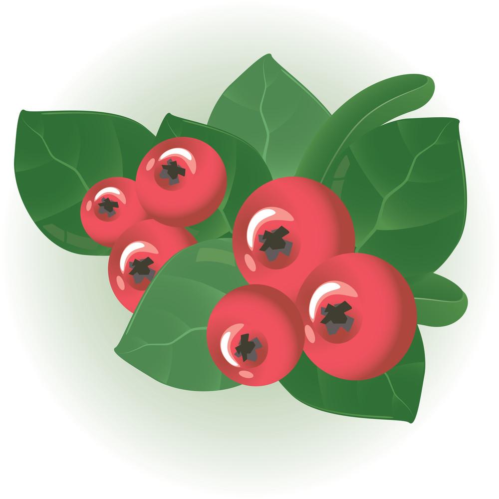 Cranberry. Vector.