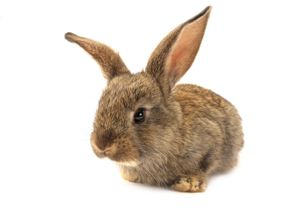 Cute Isolated Bunny