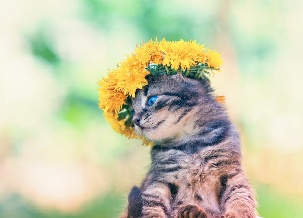 Cute little kitten crowned with a chaplet of dandelion