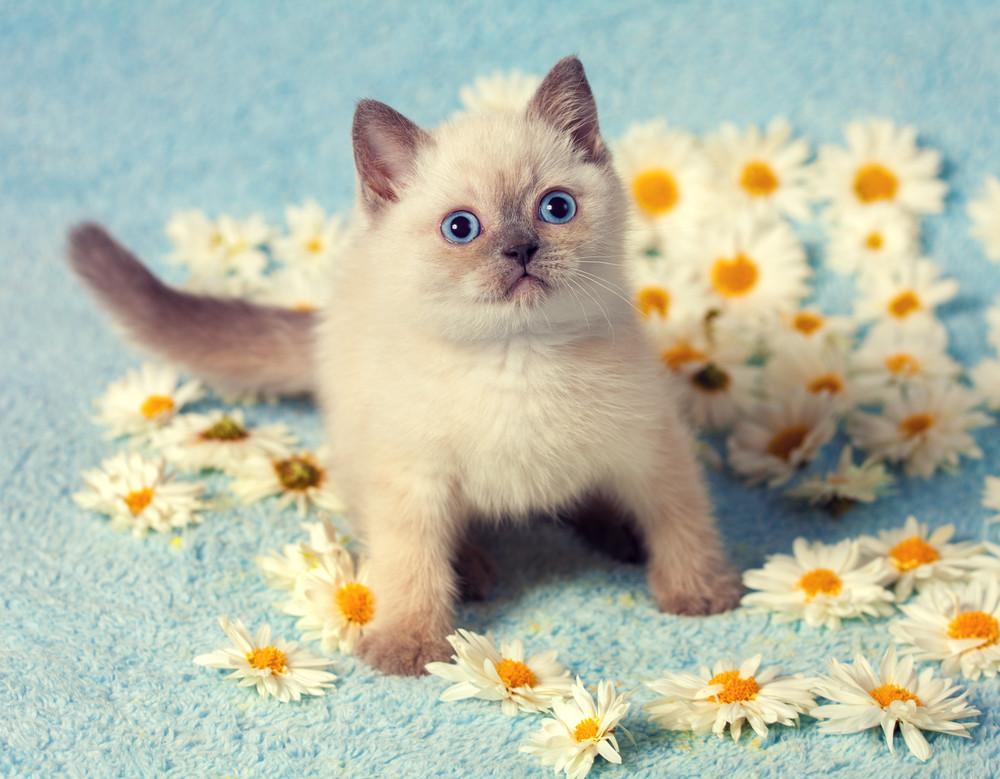Cute little siamese kitten on chamomile flowers