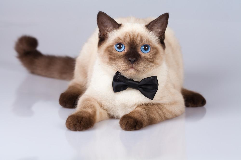 Cute siamese cat wearing bow tie
