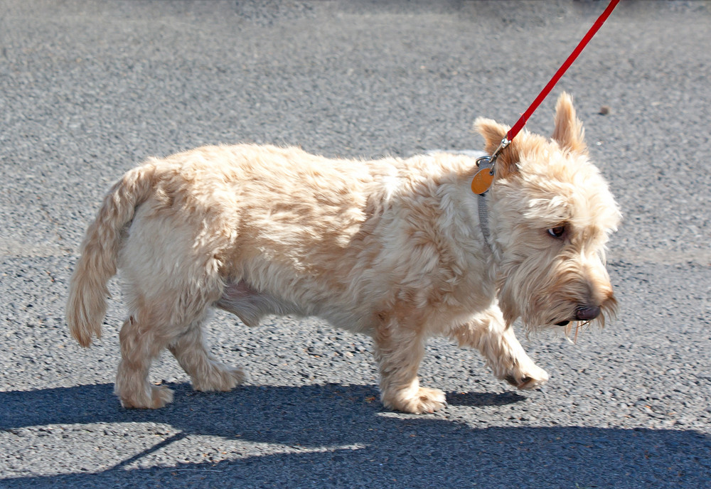 Cute Wheaten Scottish Terrier