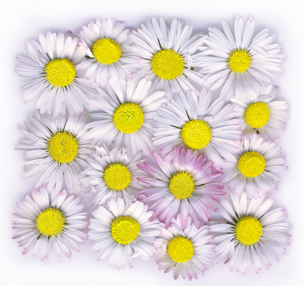 Daisies Isolated On A White Background