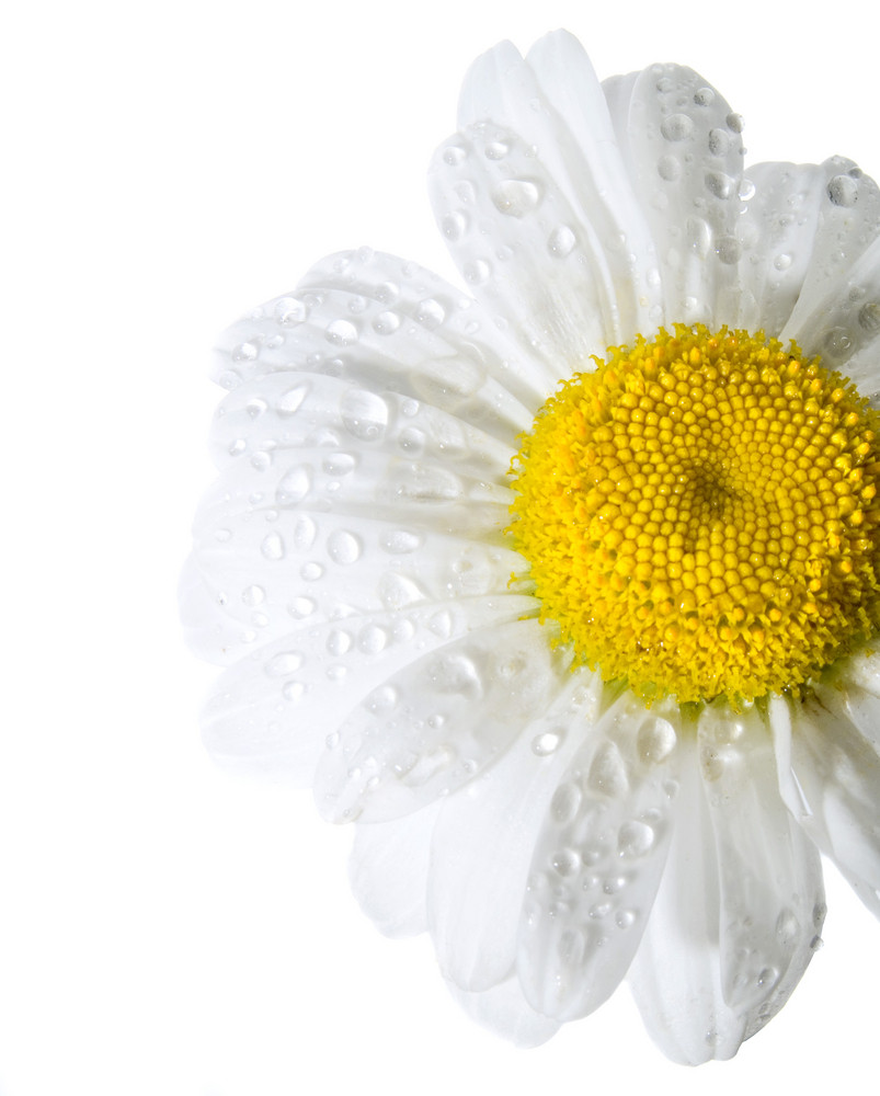 Daisy Isolated On White With Sparkling Rain Drops