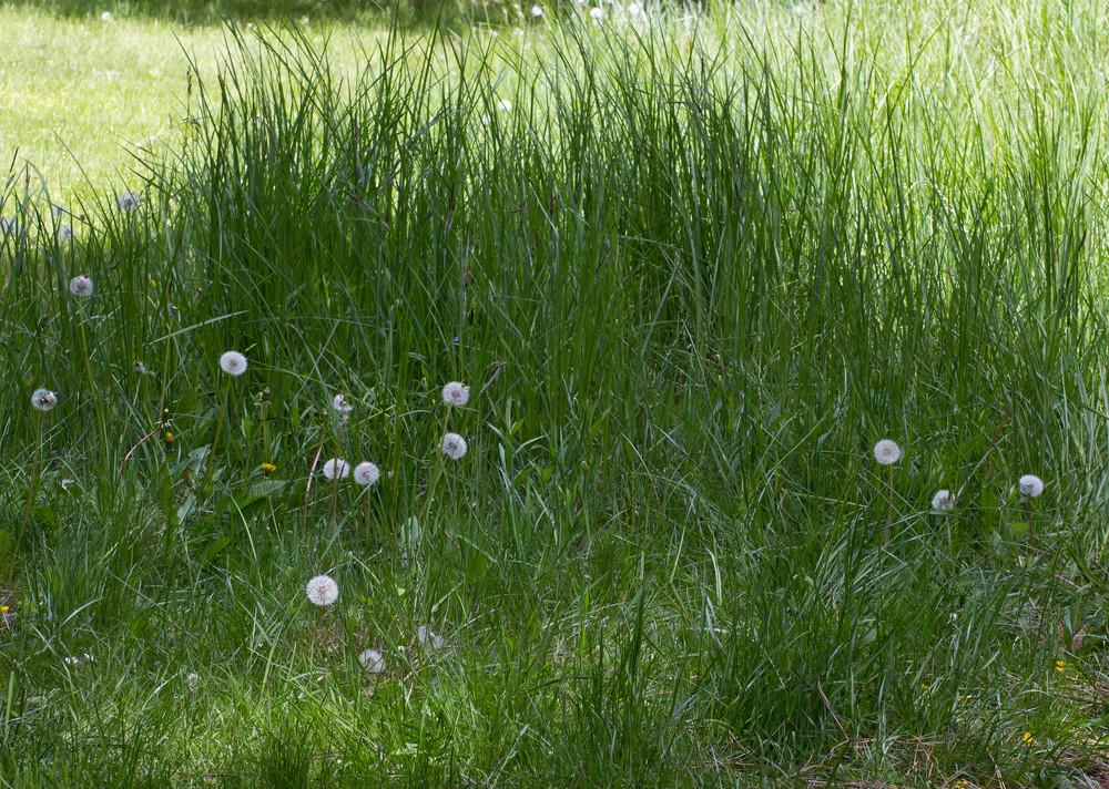 Dandelion Wild Flowers
