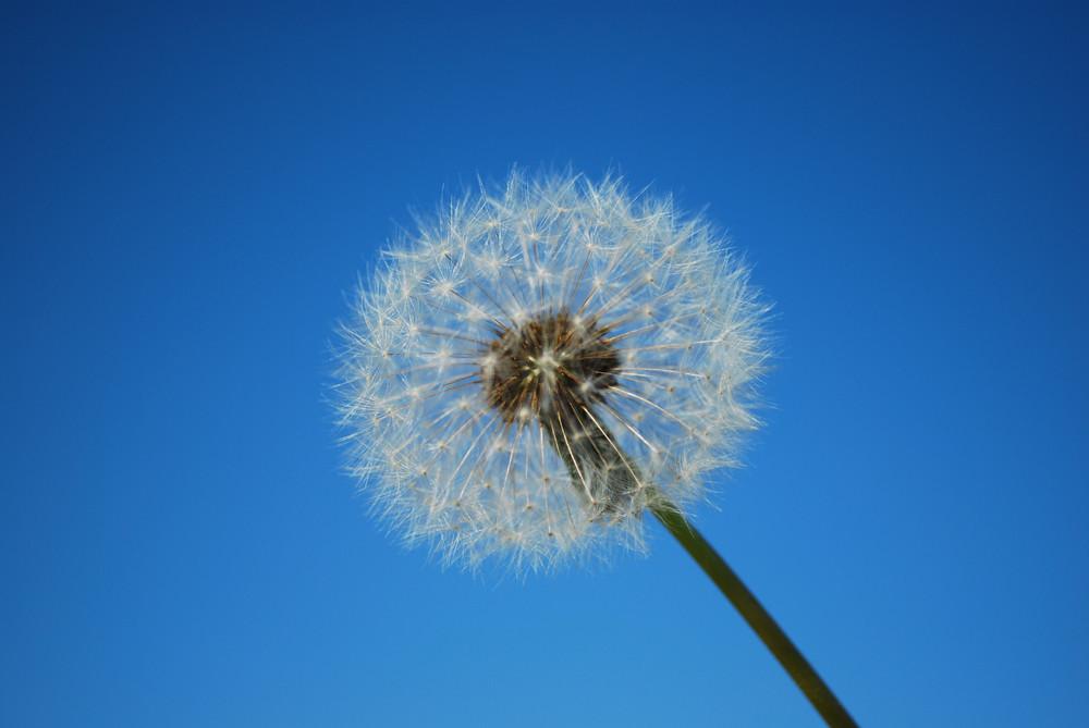 Dandelion With Blue Sky Background